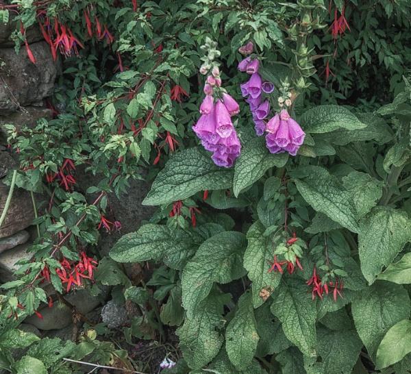 Foxglove and Fuchsia by BillRookery