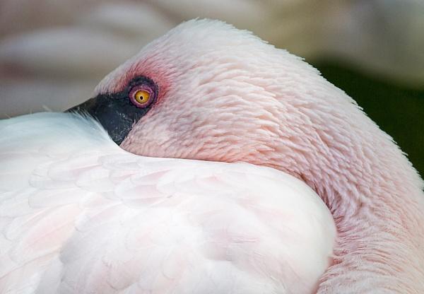 Flamingo by Owdman
