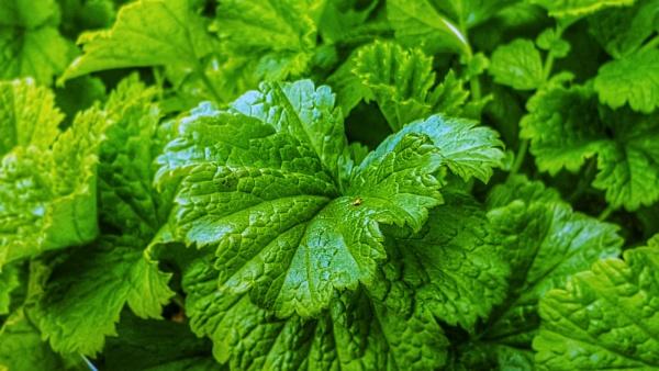 Leafy green by KrazyKA