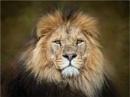 Head Of The Pride by Leedslass1