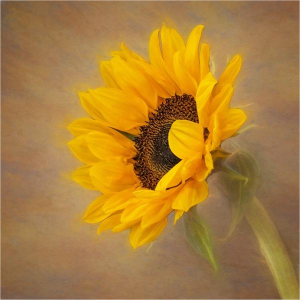 Sunflower by Leedslass1