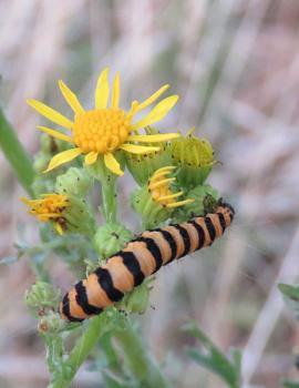 Caterpillar Rainham Marshes Cinnabar moth caterpillar (Tyria jacobaeae)