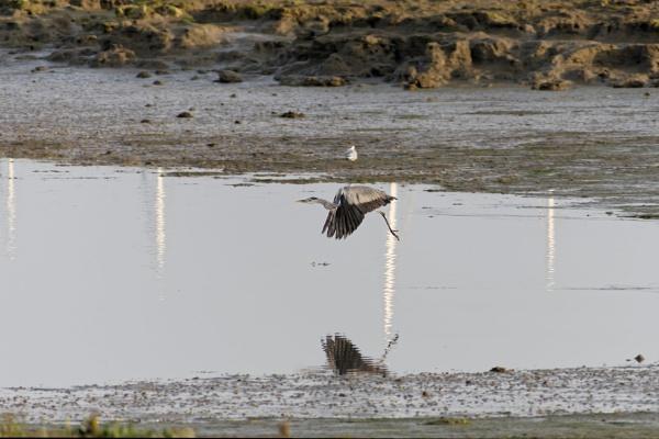 Heron taking flight. by simmo73