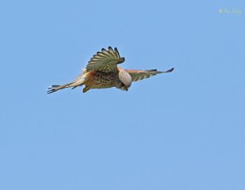 Kestrel ( Falco tinnunculus )