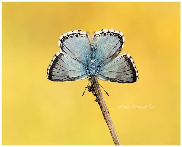 Chalkhill Blue by KasiaB