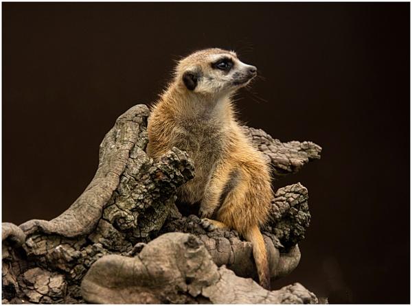 Meerkat by dven
