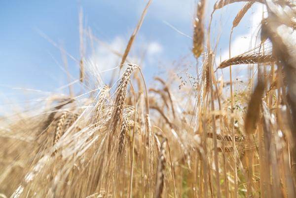 Wheat Fields by swilliams71