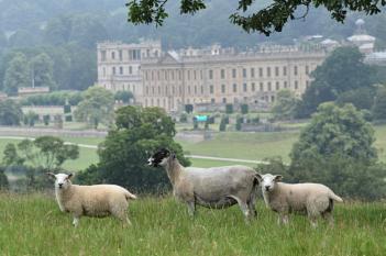 Sheep at Chatsworth