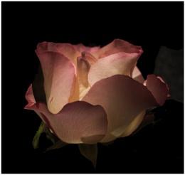 Light on Rose