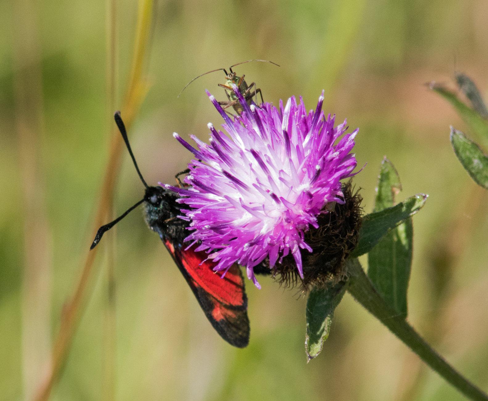 Burnet moth and friend