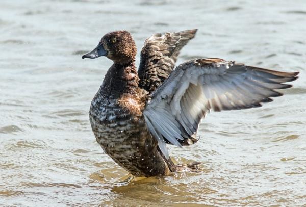 Splashing tufty by oldgreyheron