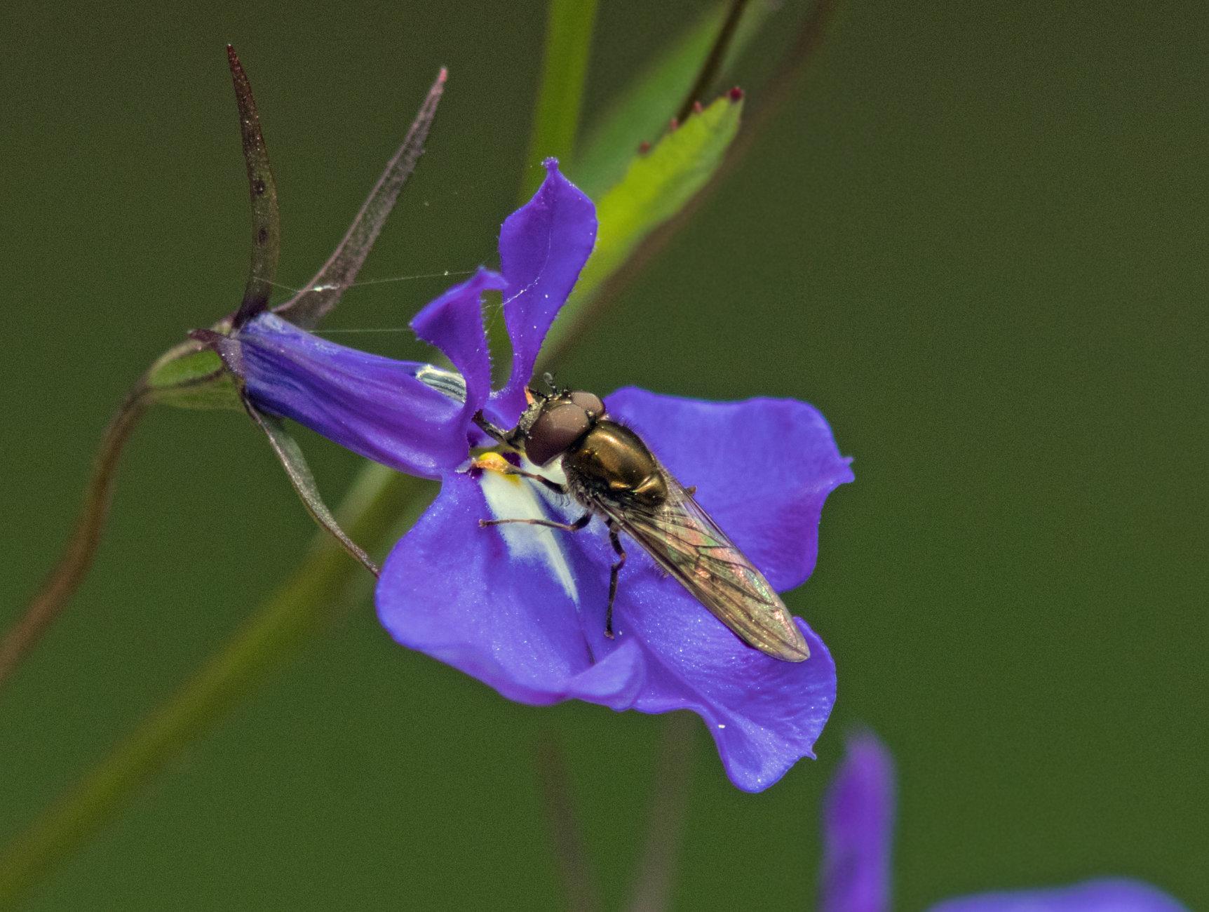 Hoverfly on lobelia
