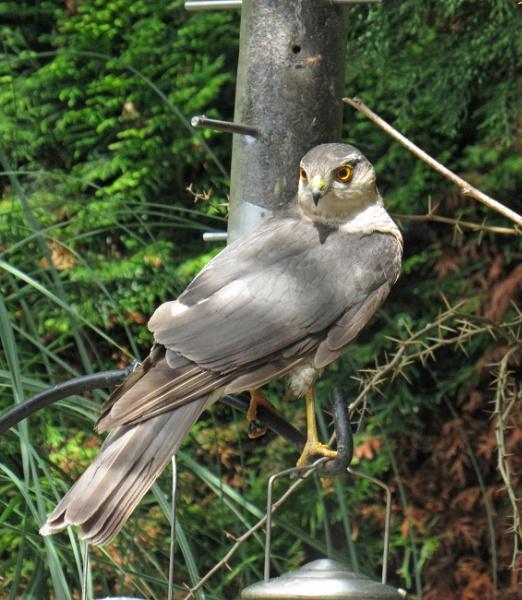 Sparrowhawk by oldgreyheron