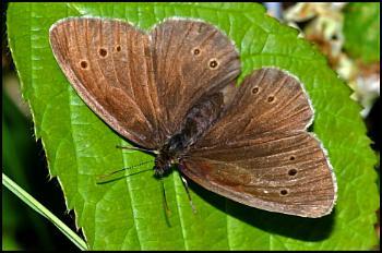 Ringlet Butterfly 02 ...