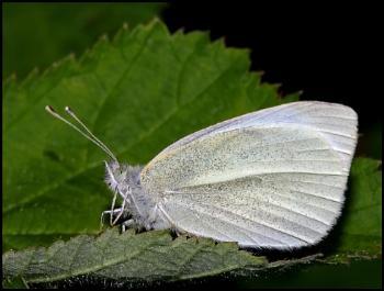 Small White - Pieris rapae ...