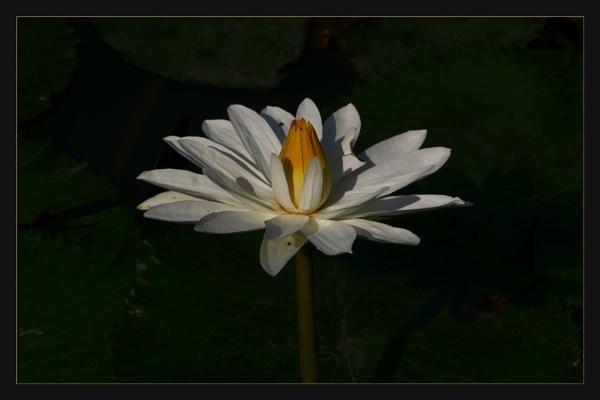 Lilly\'s by prabhusinha