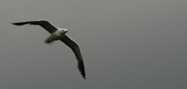 Soaring Seagull by Bjarni