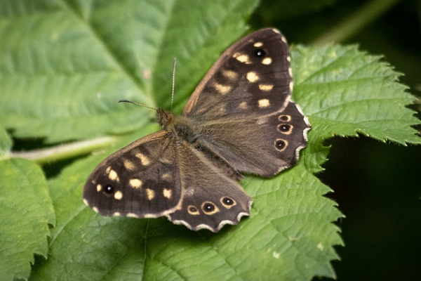 Speckled wood butterfly by Eddie91