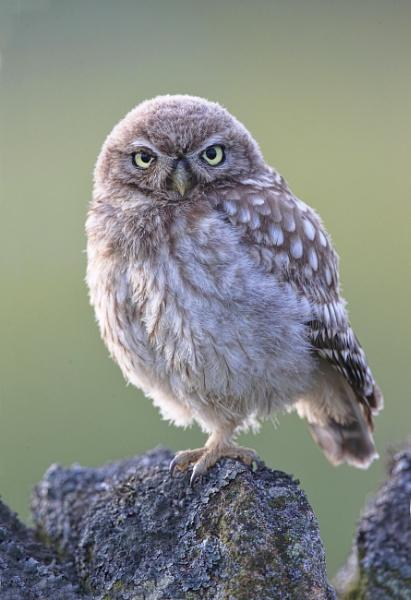 Juvenile Little Owl by HenB