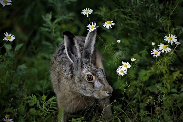 hare by maratsuikka