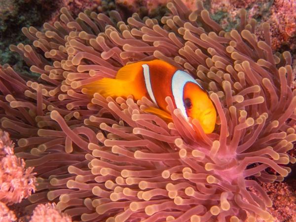 Red Sea Anemonefish by WorldInFocus