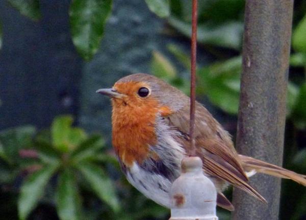 Robin by ELLISON58