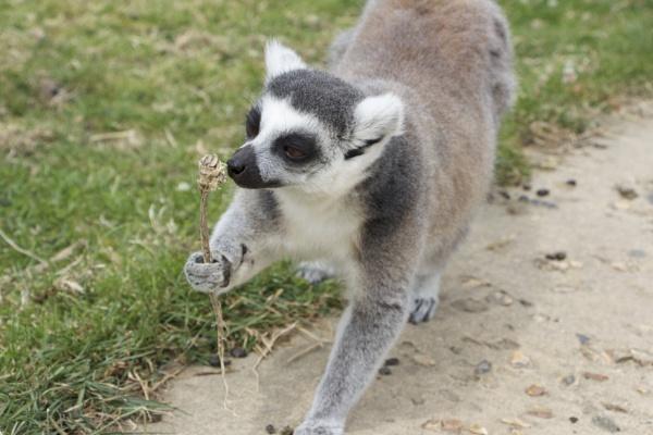 Lemur by Beth22