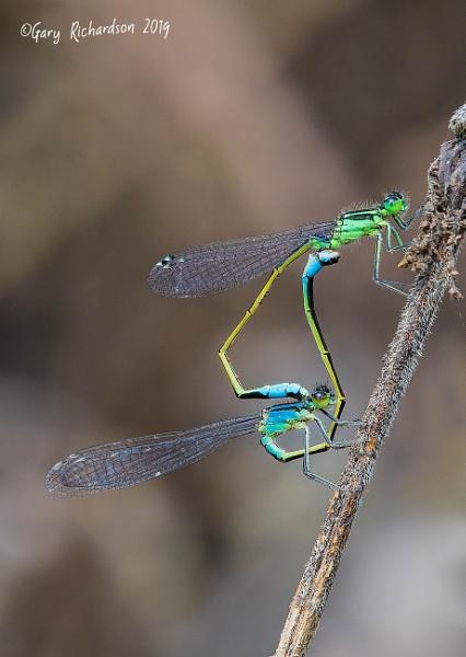 blue-tailed damselflys by djgaryrichardson