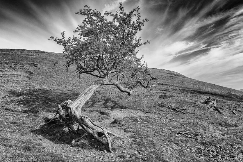 Old Hawthorn Tree