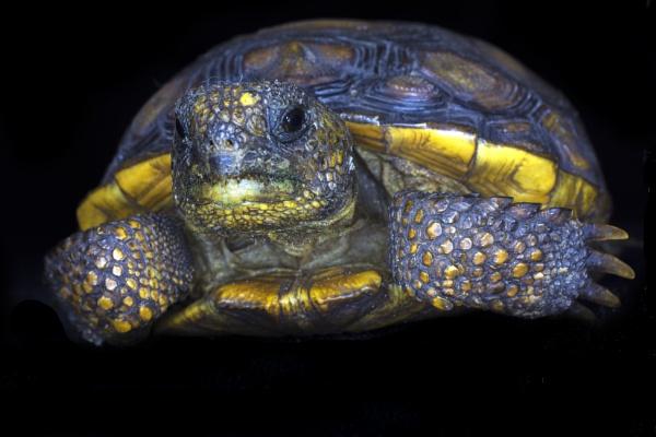 Florida gopher tortoise by jbsaladino