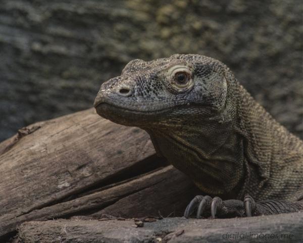 Komodo Dragon by Alan_Baseley