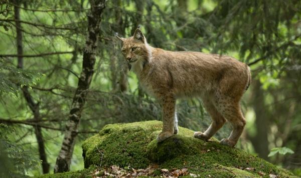 Eurasian Lynx by philhomer