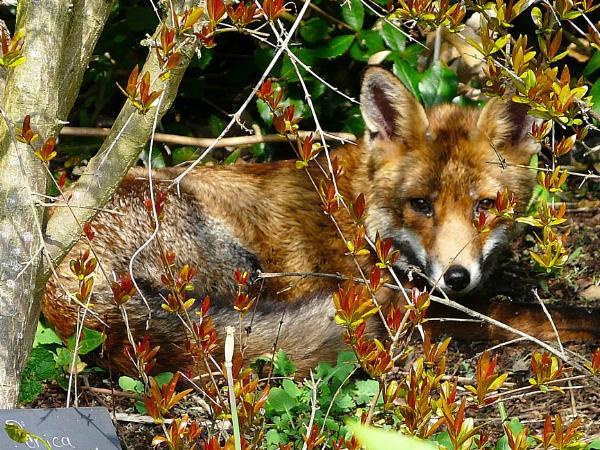 FOXY by WYNN