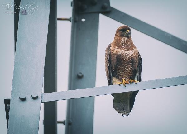 Wild Buzzard on a Pylon by MartinWait