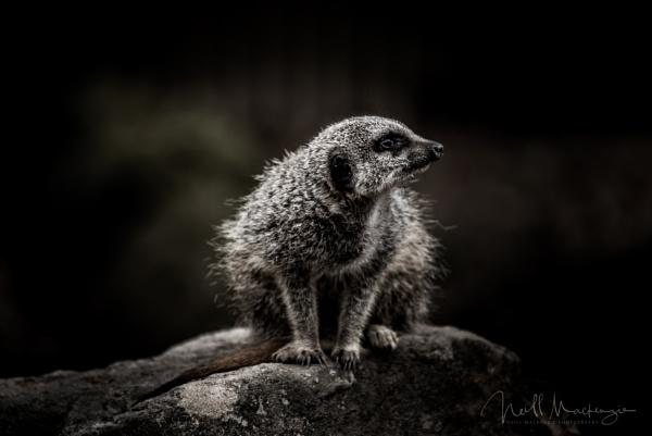 Meerkat by jimmymack