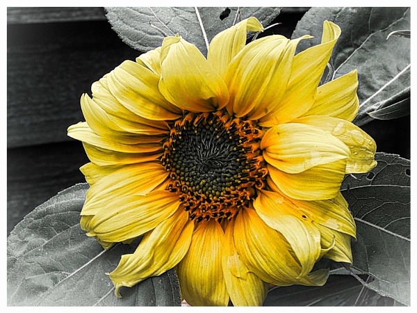 SUNFLOWER. by kojack