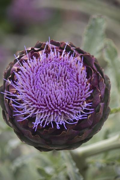 Artichoke in flower by Tony0062