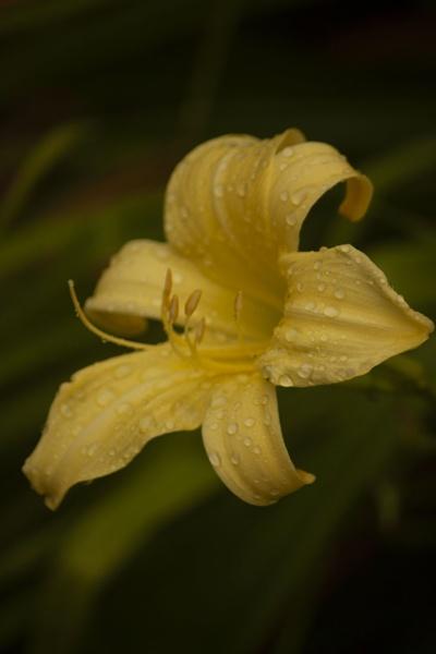 Lily by Tony0062