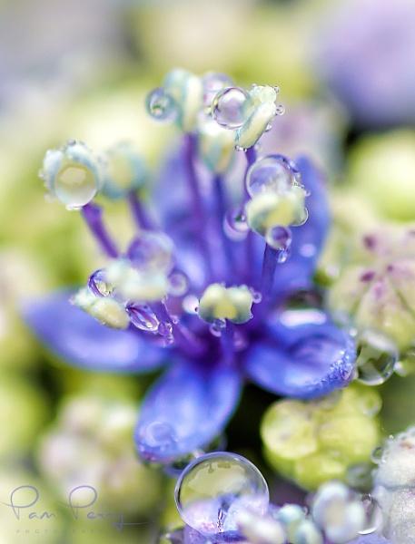 Hydrangea by mashwood10