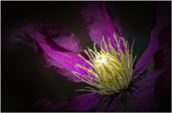 Clematis by capto