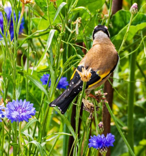 Goldies love our cornflower seeds by Nikonuser1