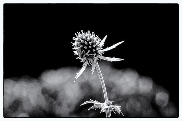 Eryngium 2 by Nikonuser1