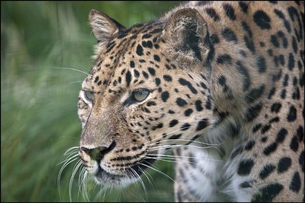Amur Leopard by rickie