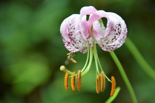 Lily & Hoverfly by davyskid