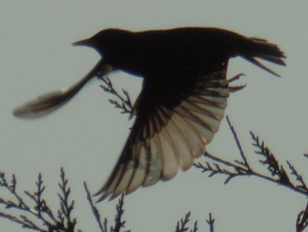 Blackbird taking of. by pauche