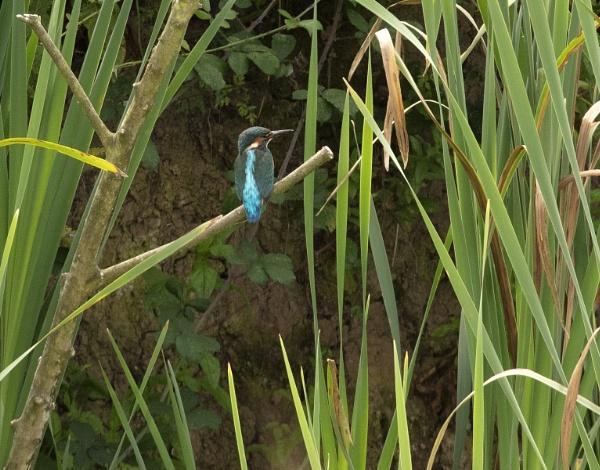 Kingfisher -   Slimbridge Gloucestershire by VincentChristopher