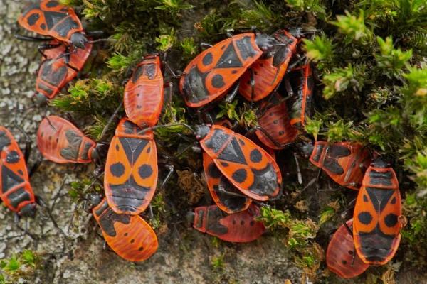 European Firebug - Blake kareivelis by LotaLota