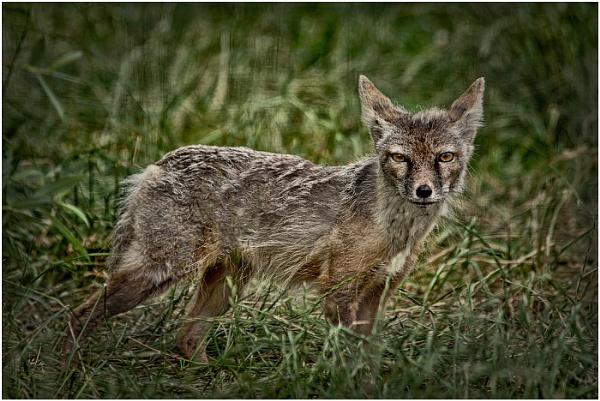 Corsac Fox by dven