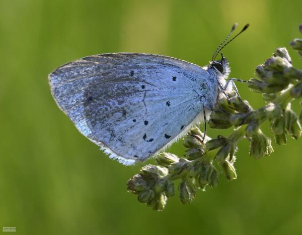 Holly Blue Butterfly by LighthousePhotography