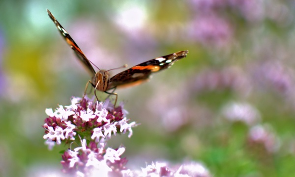 Red Admiral by rawshooter